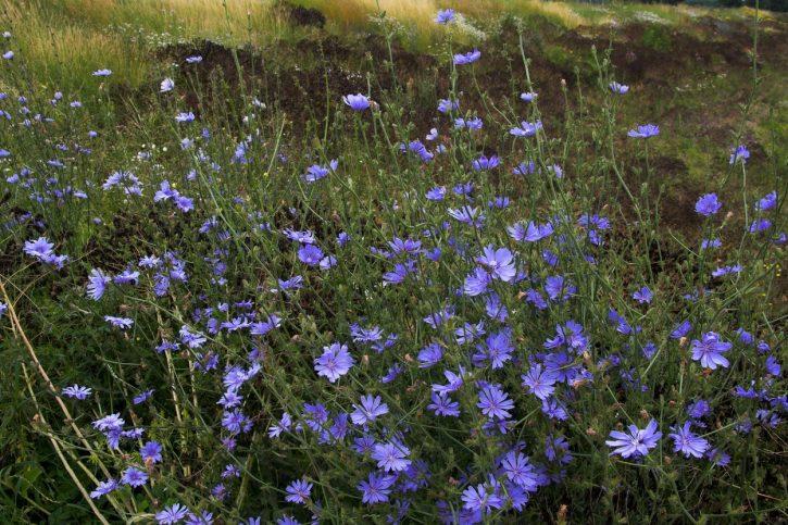 Cvet cikorije