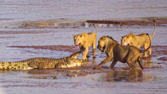 lavovi protiv krokodila