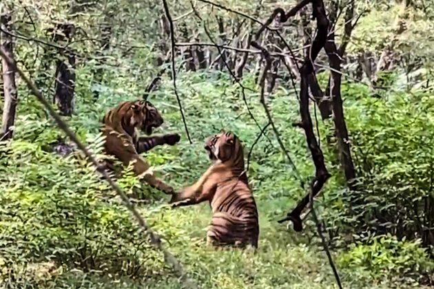 Stravična borba dva tigra