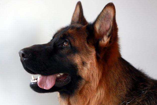 Pas, nemački ovčar