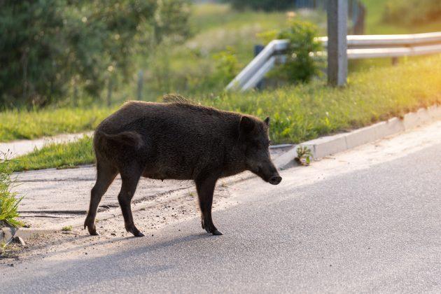 divlje svinje u beogradu