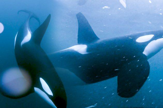 """Brčkanje sa kitovima """"ubicama"""""""