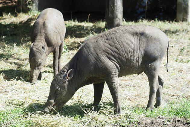 indonežanske svinje