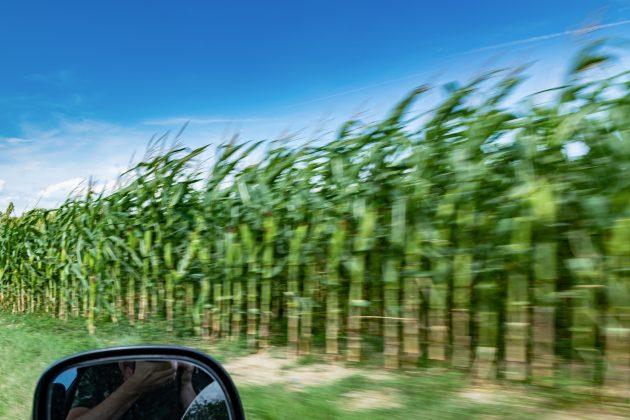 Kukuruz pored puta