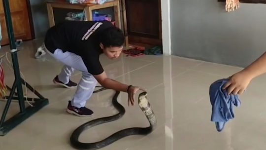 Kobra u stanu
