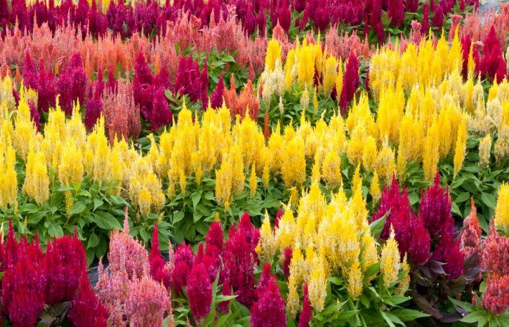 cveće koje podnosi mraz
