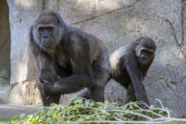 gorile vakcina korona