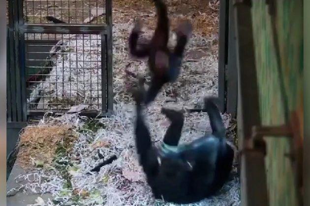 igra šimpanzi