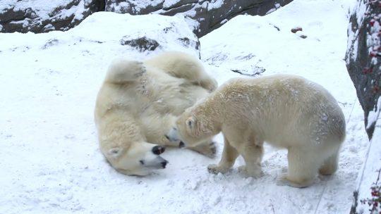 Ugrožena vrsta polarnih medveda slavi dolazak u novi dom