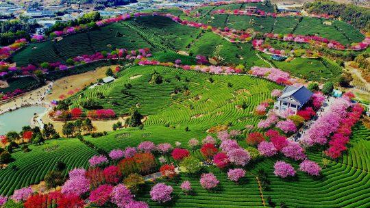 cvetanje trešnje