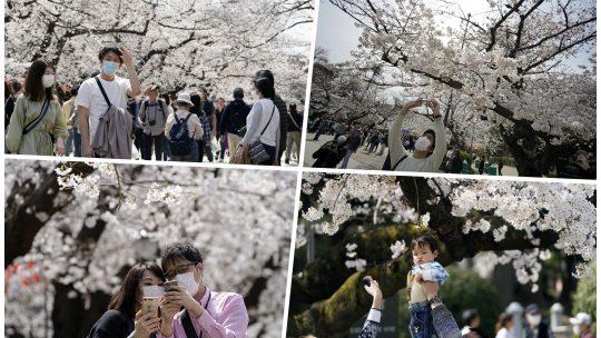 Cvetanje trešnje Japan