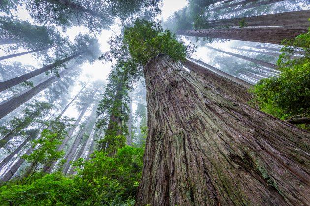 najviše drvo na svetu
