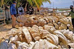 Filipini, džinovske školjke, zaplena