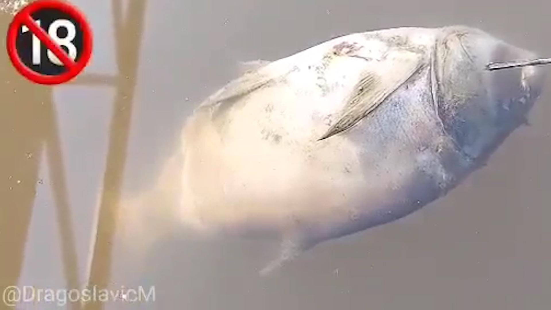 Mrtve ribe plutaju po reci