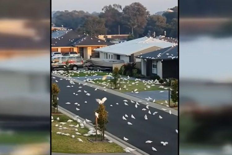 ptice, najezda ptica australija
