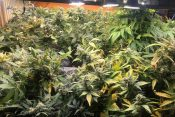 Laboratorija marihuana