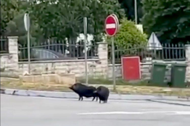 Zadar prasicic