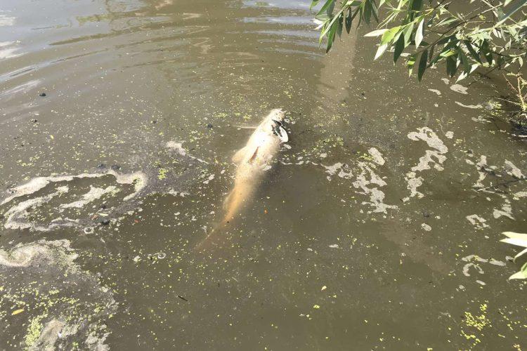 Šabac, Šabački obodni kanal, pomor ribe, mrtva riba, zagađenje, zagađena voda, Cerski obodni kanal