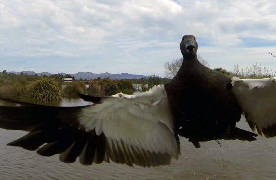 Dron i patka