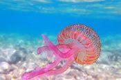 meduza morska mesečina