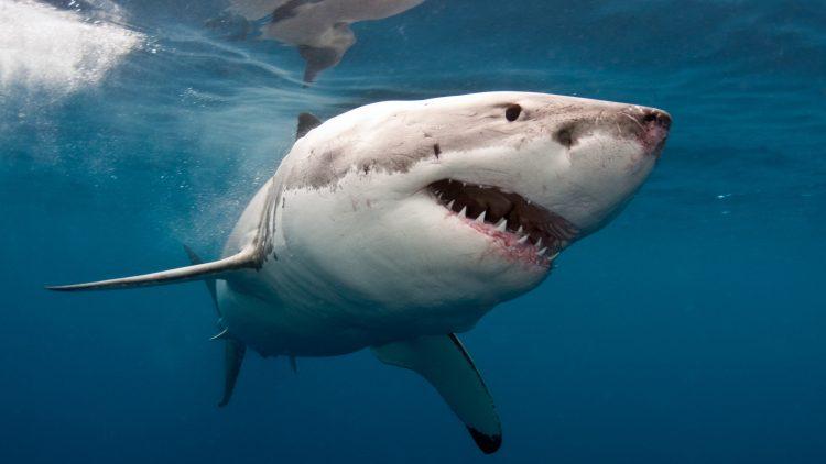 morski pas, velika bela ajkula