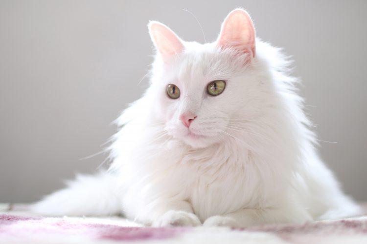 Mačka, bela mačka