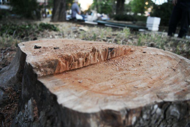 Park vojvode Bojovica posecena stabla