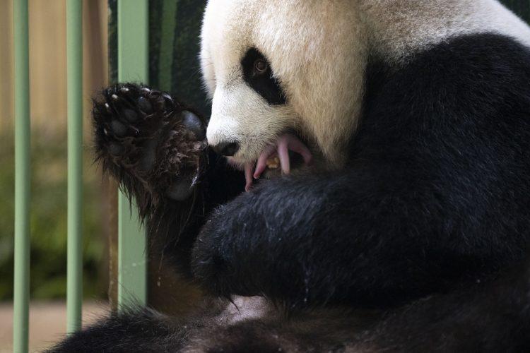 Panda, bebe blizanci