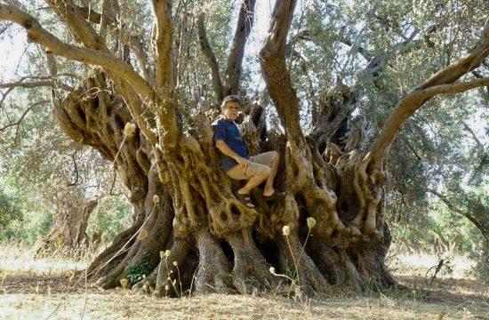 Drvo masline