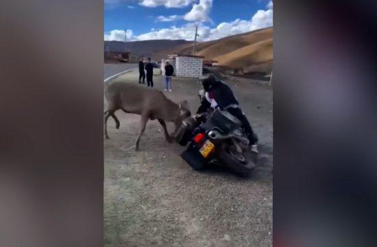 Borba motoriste i jelena